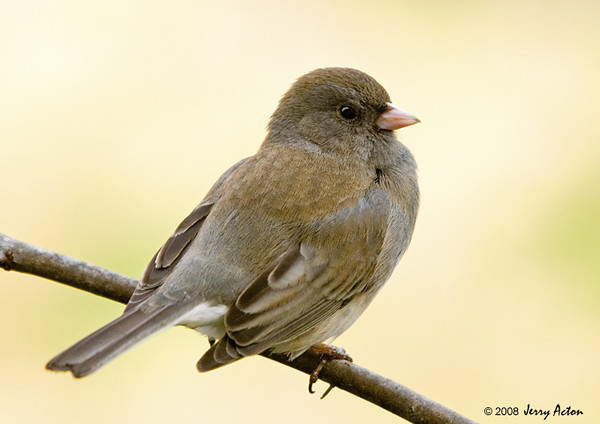 """<div class=""""jaDesc""""> <h4> SUMMER - Female Dark-eyed Junco WHo Did Not Migrate North </h4> </div>"""