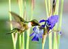 "<div class=""jaDesc""> <h4> SUMMER - Male Ruby-throated Hummingbird at Water Iris </h4> </div>"