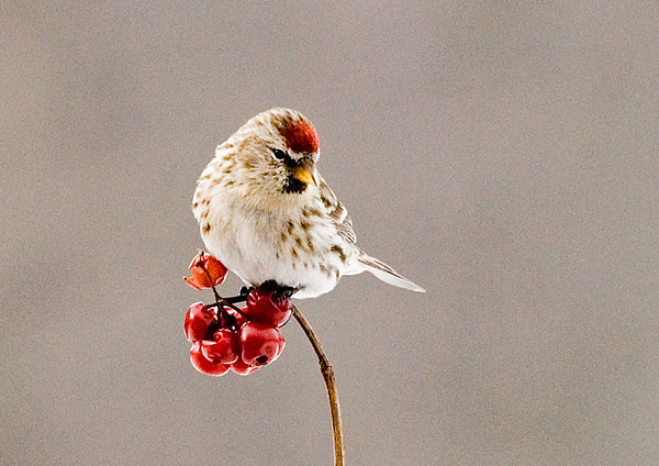 "<div class=""jaDesc""> <h4> WINTER - Common Redpoll on Cranberry Cluster </h4> </div>"
