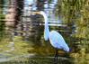 "<div class=""jaDesc""> <h4> Great Egret Looking for the Next Fish</h4> <p> </p> </div>"