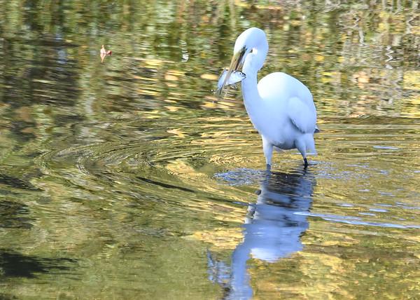 "<div class=""jaDesc""> <h4> Great Egret Walking with Fish</h4> <p> </p> </div>"
