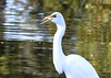 "<div class=""jaDesc""> <h4> Great Egret Swallowing Fish</h4> <p> </p> </div>"