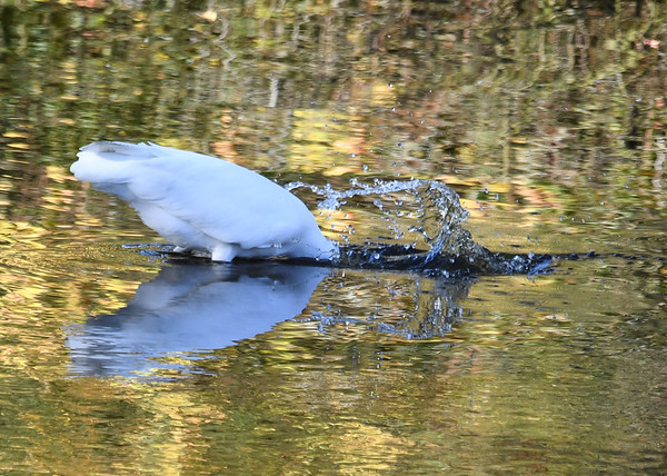 "<div class=""jaDesc""> <h4> Great Egret Strikes at Fish</h4> <p> </p> </div>"