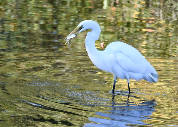 "<div class=""jaDesc""> <h4> Great Egret Ready to Eat Fish</h4> <p> </p> </div>"
