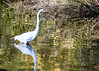 "<div class=""jaDesc""> <h4> Great Egret Hunting </h4> <p> Chincoteague Wildlife Preserve, Northern VA</p> </div>"