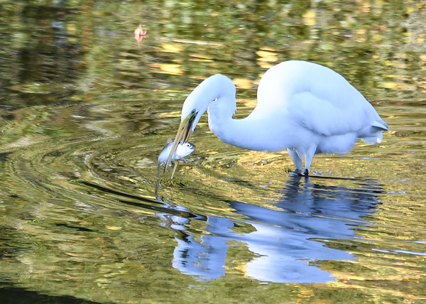 """<div class=""""jaDesc""""> <h4> Great Egret Ready to Rinse Fish</h4> <p> </p> </div>"""