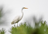 "<div class=""jaDesc""> <h4>Second Great Egret in Pine Tree - October 23, 2017</h4> <p>After watching his mate take-off, he quickly decided to follow her to a nearby tree.</p> </div>"