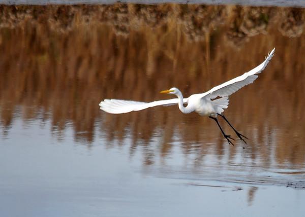 "<div class=""jaDesc""> <h4> Great White Egret - Full Wing Spread</h4> <p> </p> </div>"