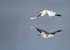 """<div class=""""jaDesc""""> <h4> Great White Egret - Eyes Locked on Landing Spot</h4> <p> </p> </div>"""