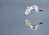 "<div class=""jaDesc""> <h4> Great White Egret Gliding Closer to Water </h4> <p> </p> </div>"