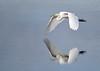 "<div class=""jaDesc""> <h4> Great White Egret Legs Pulled Back for Minimum Drag</h4> <p> </p> </div>"