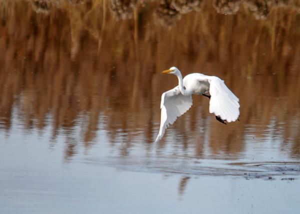 "<div class=""jaDesc""> <h4> Great White Egret Moving Forward </h4> <p> </p> </div>"