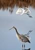 "<div class=""jaDesc""> <h4> Great White Egret Flying Above Great Blue Heron </h4> <p> </p> </div>"