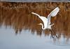 "<div class=""jaDesc""> <h4> Great White Egret Picking Up Speed </h4> <p> </p> </div>"