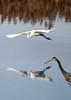 "<div class=""jaDesc""> <h4> Great White Egret Flying Past Great Blue Heron</h4> <p> </p> </div>"