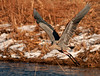 "<div class=""jaDesc""> <h4> Great Blue Heron Take-off</h4> <p>Don't be afraid to stick your neck out once in awhile.</p> </div>"