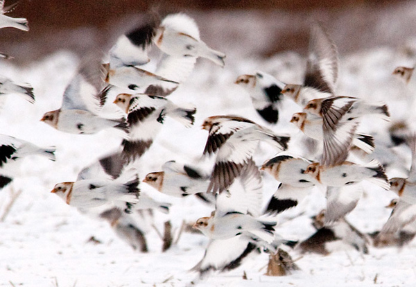 "<div class=""jaDesc""> <h4> Snow Bunting Flock Take-off</h4> <p>Sometimes it is best to just blend in with the crowd.</p> </div>"