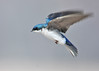 """<div class=""""jaDesc""""> <h4> Male Tree Swallow Slowing Down</h4> <p>Sometimes it is a good idea to slow down and get your bearings.</p> </div>"""