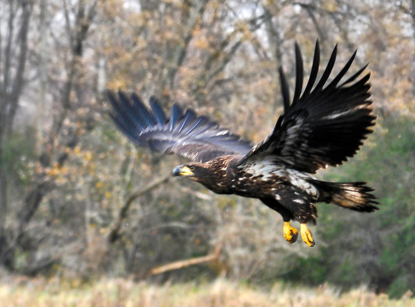 "<div class=""jaDesc""> <h4> Immature Bald Eagle Take-off</h4> <p>Encourage the younger generation.</p> </div>"