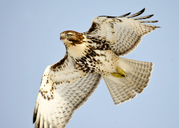 """<div class=""""jaDesc""""> <h4> Immature Red-tailed Hawk</h4> <p>Take some risks.</p> </div>"""