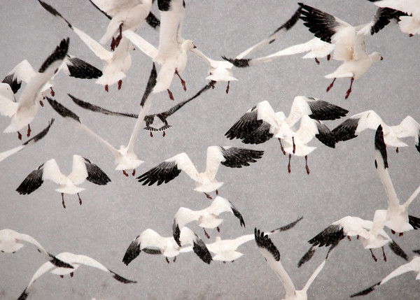 """<div class=""""jaDesc""""> <h4> Explosive Snow Geese Take-off</h4> <p>Temporary chaos can evolve into beautiful organized patterns.</p> </div>"""