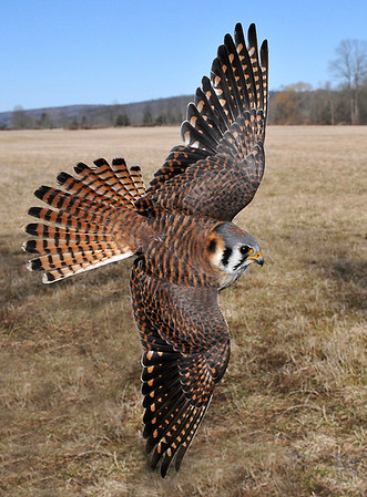 """<div class=""""jaDesc""""> <h4> Female Kestrel in Sharp Turn</h4> <p>Change course if you are feeling stuck.</p> </div>"""