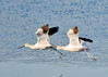 "<div class=""jaDesc""> <h4> Avocet Pair Coming In To Land</h4> <p>Don't be afraid to let someone else lead.</p> </div>"