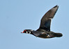 "<div class=""jaDesc""> <h4> Male Wood Duck Fly-by</h4> <p>Get inspired by the beauty around you.</p> </div>"