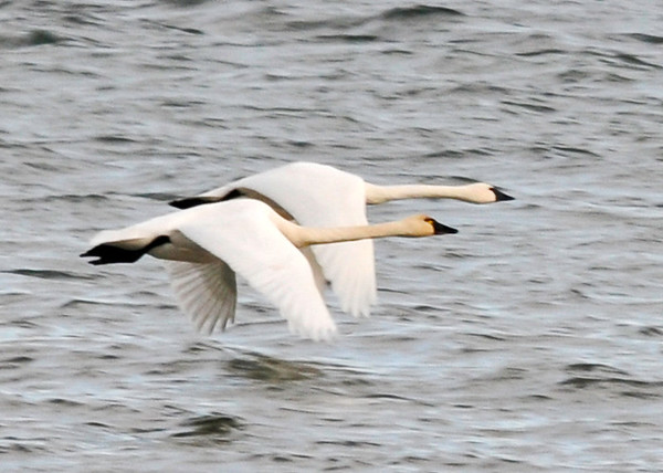 "<div class=""jaDesc""> <h4>Trumpeter Swan Pair Flying Low to the Water</h4> <p>Always nice to have a partner by your side.</p> </div>"