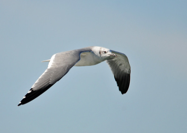 """<div class=""""jaDesc""""> <h4> Laughing Gull Flying Effortlessly with Wind at It's Back</h4> <p>Take advantage of any help you can get.</p> </div>"""