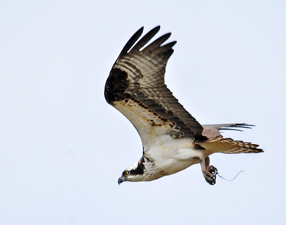 "<div class=""jaDesc""> <h4> Osprey Fly-By</h4> <p>Focus on your goals intensely.</p> </div>"
