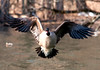 "<div class=""jaDesc""> <h4> Canada Goose Flying Straight at Me</h4> <p>Laughter is good.</p> </div>"