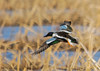 """<div class=""""jaDesc""""> <h4> Male Northern Shoveler Headed for Cover in the Reeds</h4> <p>Take a break to hunker down and rejuvenate.</p> </div>"""