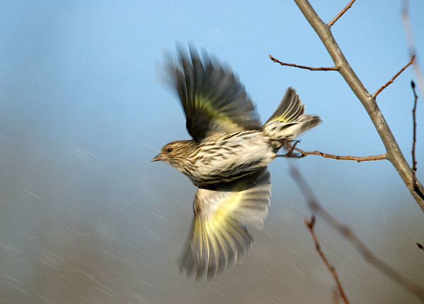 """<div class=""""jaDesc""""> <h4> Flashy Pine Siskin Take-off in the Rain</h4> <p>Don't let a rainy day get you down.</p> </div>"""