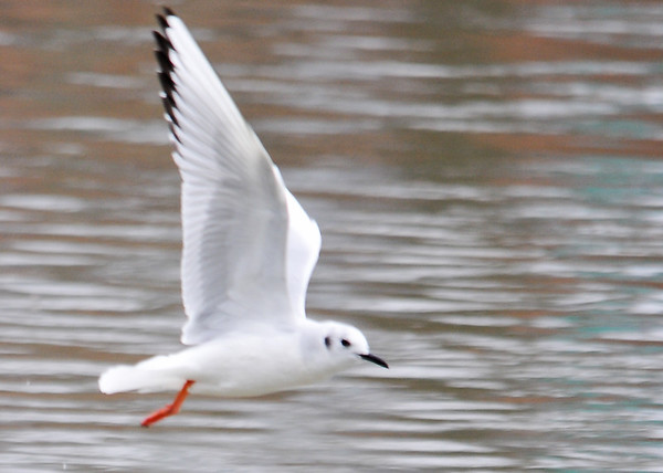 """<div class=""""jaDesc""""> <h4> Bonaparte's Gull - Wings Up Ready for the Next Flap</h4> <p>Use your natural skills to their best advantage.</p> </div>"""