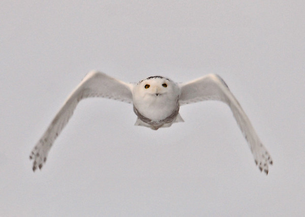 "<div class=""jaDesc""> <h4>Female Snowy Owl Flying Right at Me</h4> <p>Some situations require courage - try not to panic.</p> </div>"