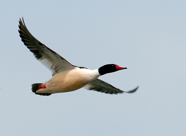 "<div class=""jaDesc""> <h4> Male Common Merganser Flying Down River</h4> <p>Map out your route to help stay on course.</p> </div>"