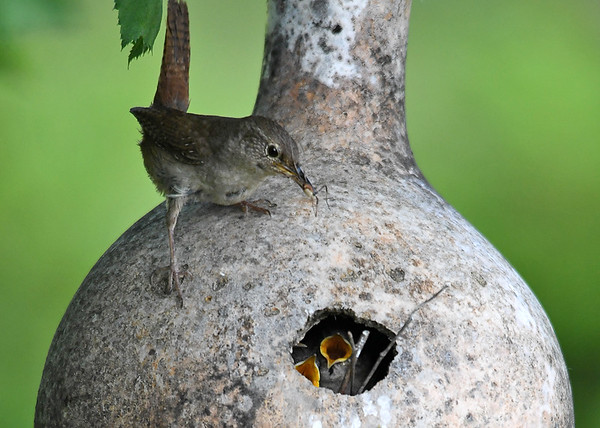"<div class=""jaDesc""> <h4>Wren with Big Bug - June 23, 2018</h4> <p>Mother Wren is feeding three chicks in the gourd nest.</p> </div>"