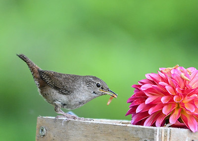 Wren Back for More - June 23, 2018 The box was only 10 feet from the nest. She could not believe that a McMealworms moved in so close to her nest.