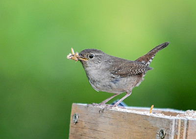 Wren with Mealworms - June 23, 2018 I moved my portable mealworm box over near the nest to give Mom a break from having to search for bugs.