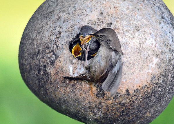 """<div class=""""jaDesc""""> <h4>Wren Stuffing an Open Beak - June 23, 2018</h4> <p>I am always amazed at how many mealworms they stuff into a beak.</p> </div>"""