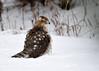"<div class=""jaDesc""> <h4> Sharp-shinned Hawk in Snow</h4> </div>"