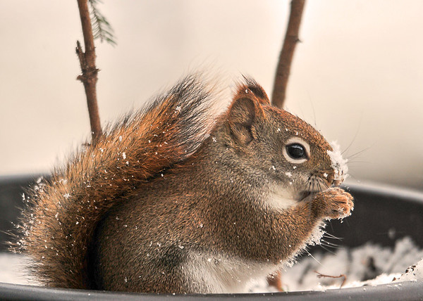 """<div class=""""jaDesc""""> <h4> Red Squirrel with Snowy Nose</h4> </div>"""