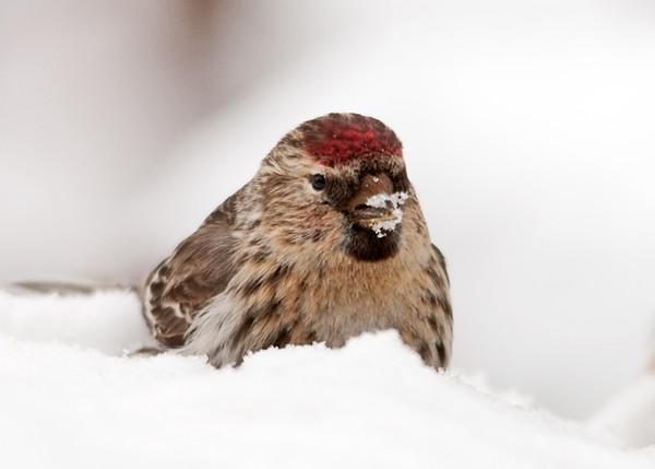 "<div class=""jaDesc""> <h4> Female Redpoll with Snowy Beak</h4> </div>"