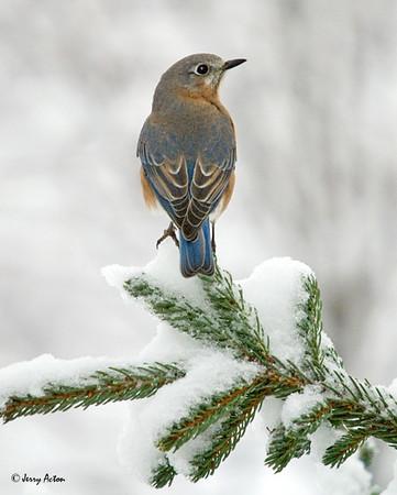 "<div class=""jaDesc""> <h4> Female Bluebird in Snowy Spruce Tree </h4> </div>"