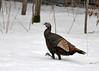 "<div class=""jaDesc""> <h4> Wild Turkey Strutting Through Snow</h4> </div>"