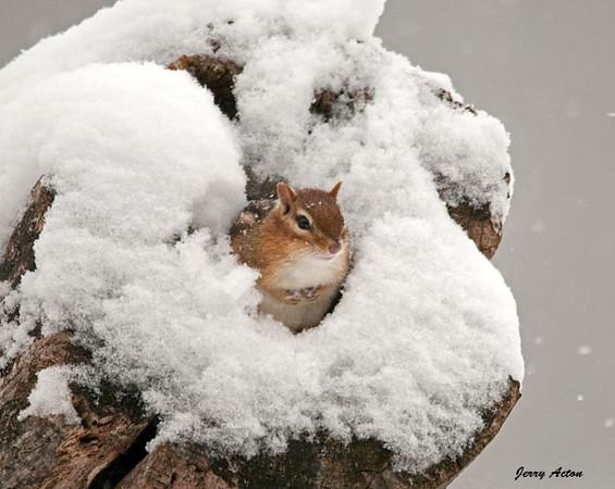 "<div class=""jaDesc""> <h4> Chipmunk Peaking Out of Snowy Log</h4> </div>"