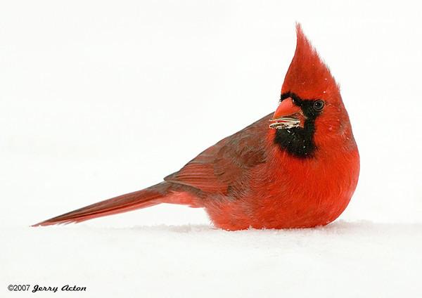"<div class=""jaDesc""> <h4> Male Cardinal on Snow Bank </h4> </div>"