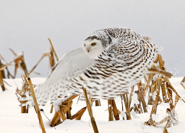 "<div class=""jaDesc""> <h4> Female Snowy Owl Flying By </h4> </div>"