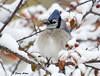 "<div class=""jaDesc""> <h4> Blue Jay Fluffed to Stay Warm </h4> </div>"